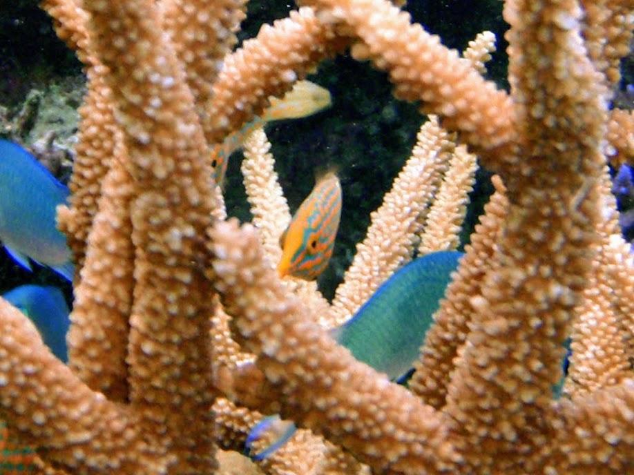 Oxymonacanthus longirostris (Orangespotted Filefish), Naigani Island, Fiji.