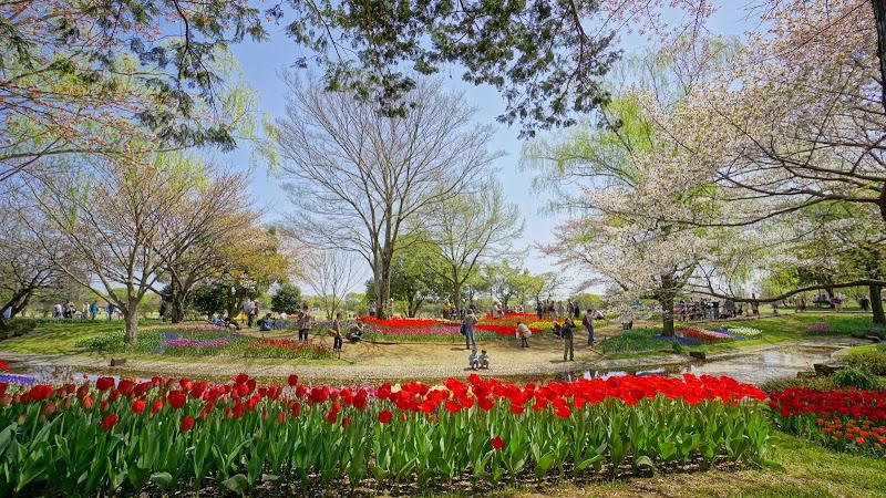 昭和記念公園 桜 写真11