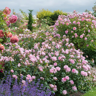 Một khóm hoa hồng Scepter'd Isle rose khổng lồ. Ảnh từ trang web davidaustinroses