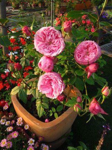 1 chậu hoa hồng Miyako nhỏ nhưng chi chít hoa
