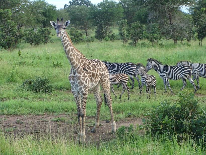 giraffe_zebra.jpg