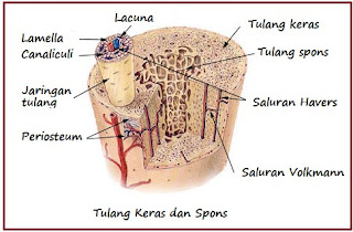 Image result for . Tulang kompak