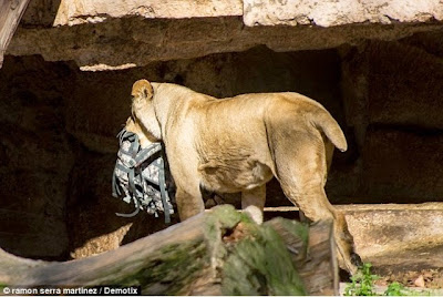 Image result wey dey for lion kills man in ibadan zoo