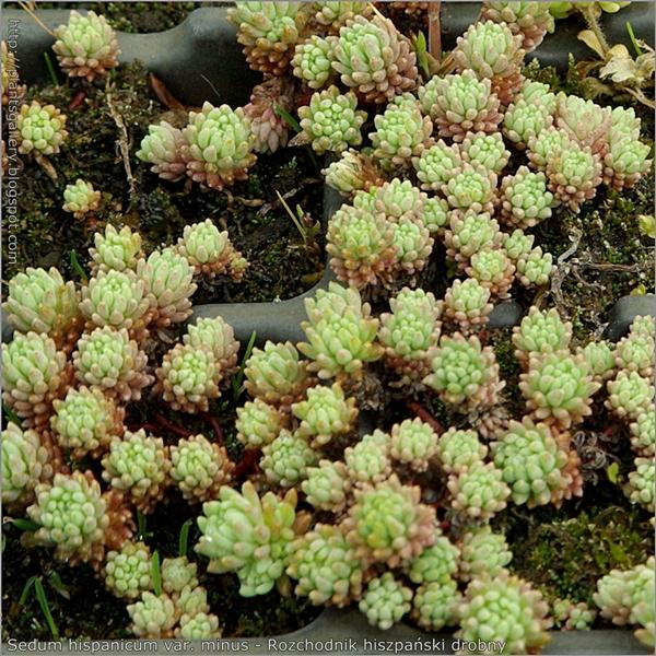 Sedum hispanicum var. minus - Rozchodnik hiszpański drobny