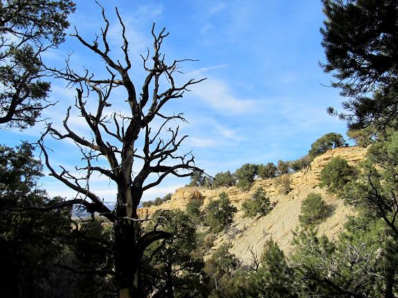 Dead pinyon pine