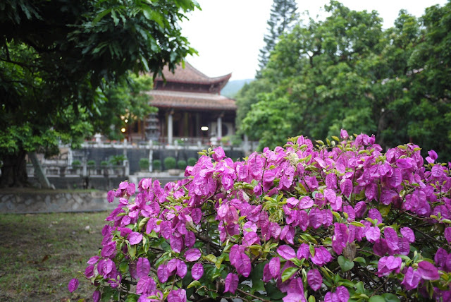 bush with purple and green leaves in front of Guanghua Temple in Putian, Fujian