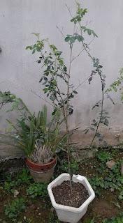 Hoa hồng leo St Alban, cây giống hàng Thái Lan