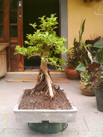 Ficus Microcarpa var. Indica... - Página 2 IMAG0047