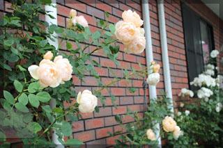 Hình ảnh hồng leo Wollerton Old Hall Rose trồng cặp theo các vách tường nhà.