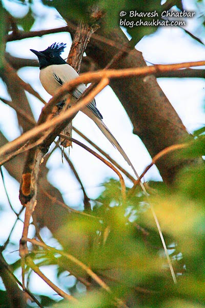 Long white tail of an Asian Paradise Flycatcher