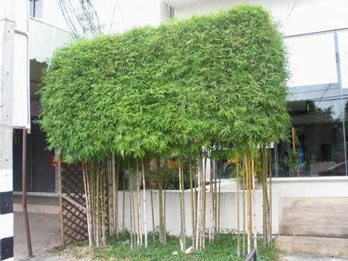 Un quadrato di giardino forum di giardinaggio un - Canne bambu in vaso ...
