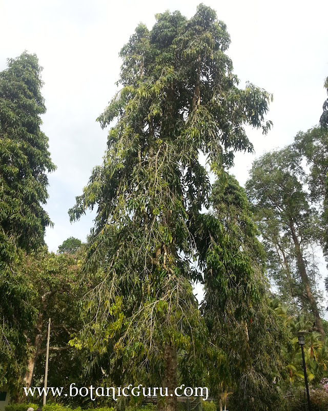 Polyalthia longifolia, Asoka Tree, Ashoka Tree, False Ashoka, Weeping Mast Tree