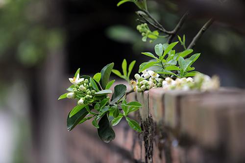 ảnh nhành hoa bưởi mọc ra ngoài bờ tường