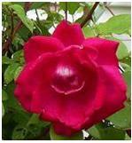 khasiat bunga mawar