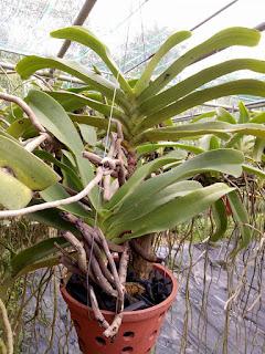 Hoa lan Ngọc Điểm - Nghinh Xuân - Đai Châu rừng trồng thuần tại vườn - 2