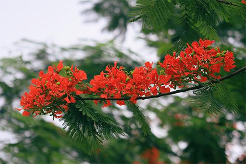 hình ảnh hoa phượng