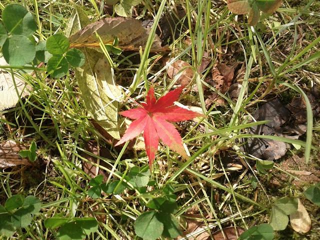 绿草丛中的一枚红叶,看来是附近的枫树上飘过来的
