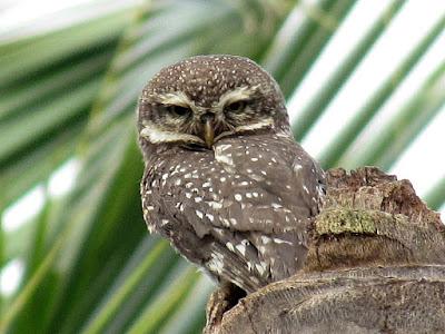 15-Oct-2011 Spotted Owlet  Pic: SK Srinivas