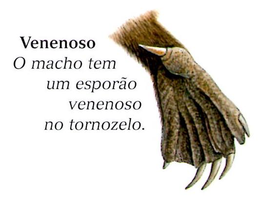 Resultado de imagem para ornitorrinco