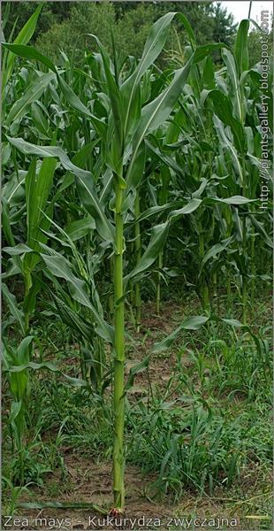 Zea mays habit - Kukurydza zwyczajna pokrój