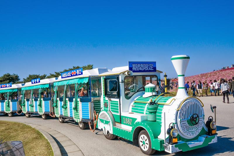 ひたち海浜公園 コキア 写真2