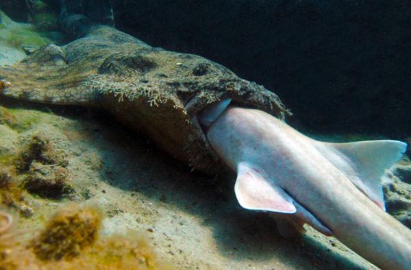 Ikan Hiu Saling Memangsa di Lautan Australia
