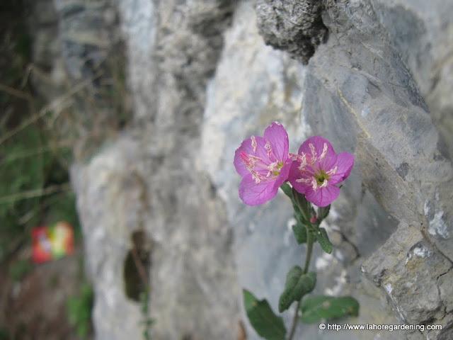 Oenothera rosea, evening primrose