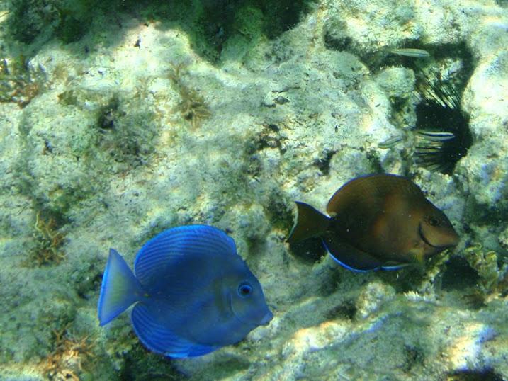 Acanthurus coeruleus (Juvenile Atlantic Blue Tang), and Acanthurus bahianus (Juvenile Ocean Surgeonfish) near Tranquility Bay Resort.
