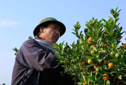 Ông Nguyễn Văn Hùng lo lắng cho số phận những cây quất còn lại trong vườn.