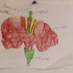 Look how neatly this parts of a flower picture is drawn! The Montessori preschooler traced the parts, then colored them in, then labeled them.