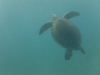 Retour plage de Akumal, on passe notre temps dans l'eau à tour de rôle pour aller observer et photographier les tortues. Instant magique!!!!