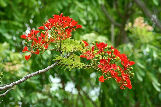 nhành hoa phượng vĩ tháng 7