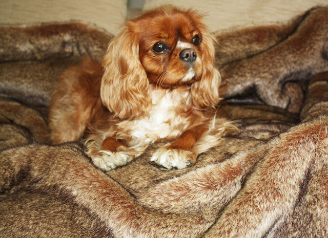 top 10 family dogs king charles