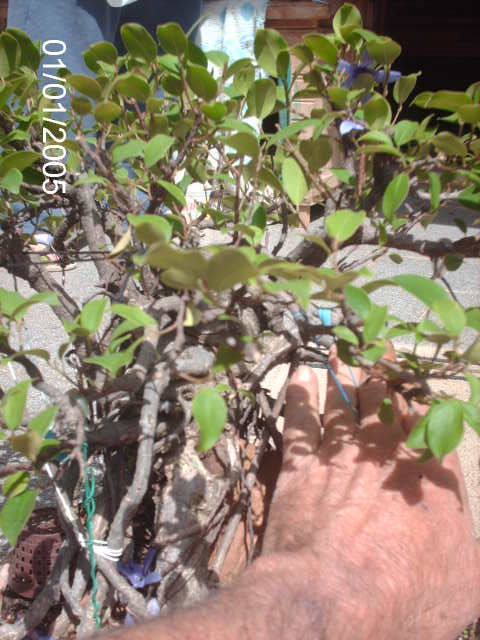 Ficus Microcarpa do Roberto Teixeira... PICT1652