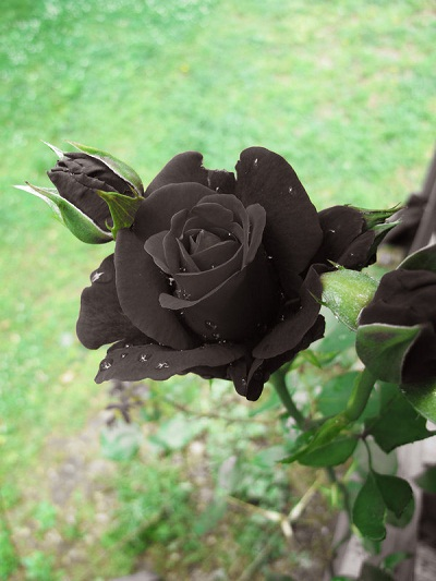 hoa hồng đen đẹp