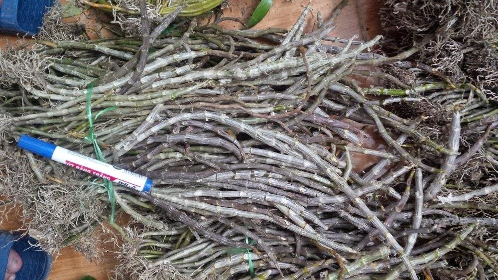 Long tu Lào mua về cắt rễ, ngâm B1 rồi ghép lên rất dễ sống