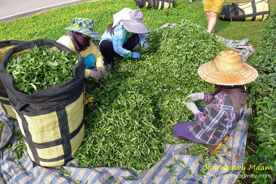 ชาเขียวญี่ปุ่นแท้_ตัดเก็บใบชา_5
