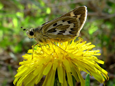 Moth on a dandelion