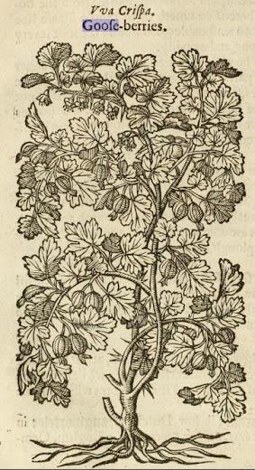 Gerard's gooseberry