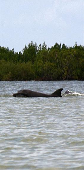 Delfín en el río Casamance