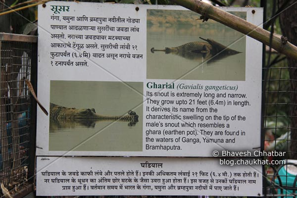 Information on Gharial [Scientific Name: Gavialis Gangeticus, Hindi Name: घऱियाल] AKA Indian Gavial, Indian Crocodile, Indian Croc