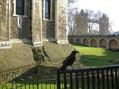 Многие связывают нынешнюю традицию держать в Лондонском Тауэре воронов с легендой о Бране