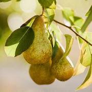 К чему снятся груши на дереве?