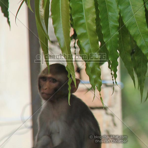 Monkeys of Jaipur - Baby hiding behind leaves