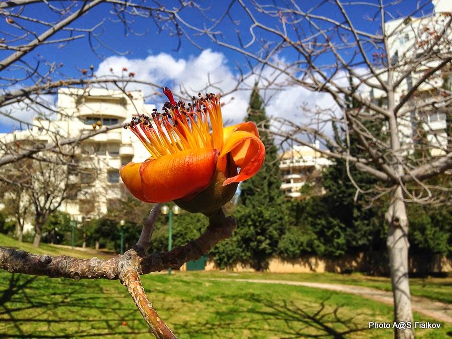 Цветок Бомбакса (Bombax). Цветы и деревья Израиля.