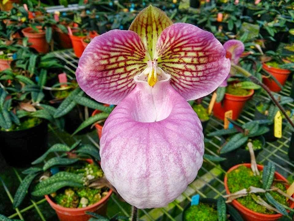 hài mốc hồng là giống lan hài nhỏ bé nhưng bông hoa là to so với kích thước cây