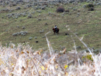 Horseman gathering cattle to bring them off the mountain for the winter