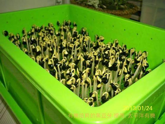 有機黑豆芽菜苗