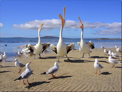 Beggars, Pelicans and Seagulls.jpg
