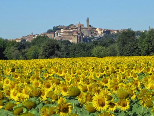 Sunflowers, Castiglion Fiorentino. From A Zany Slice of Italy